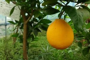 orange-sweet