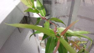 Eucalyptus-lemon